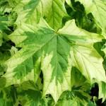 Описание лиственных пород деревьев